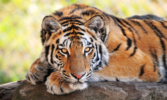 Oct 30 � The world s tiger