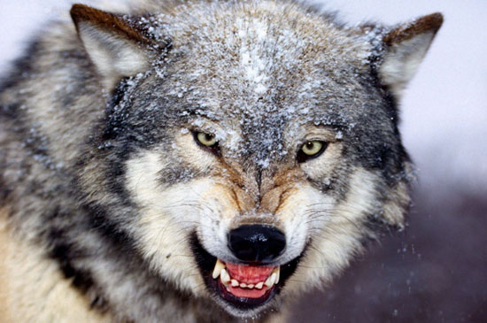 Wolf Snarling Front View